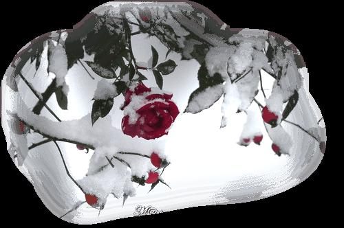 rose rouge givrée