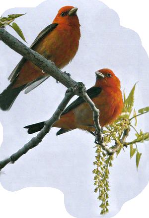oiseaux 240