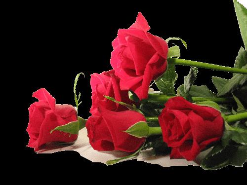 Rose rouge 180 - Signification des roses rouges ...