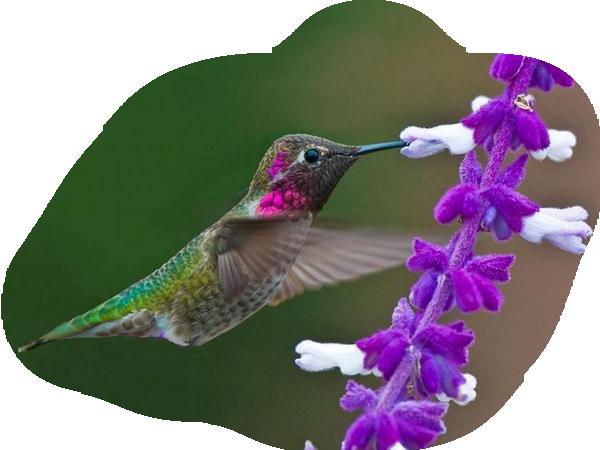 colibri 229