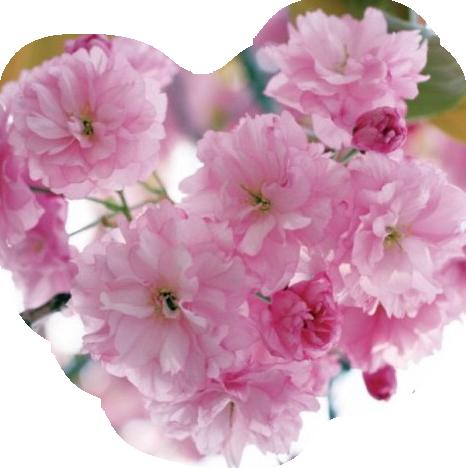 rose 231