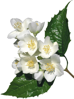 fleurs blanches 53
