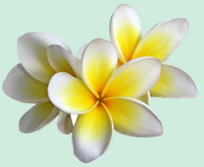 fleur blanche 88