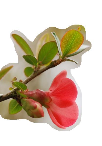Fleur rouge de printemps - Arbuste fleur rouge printemps ...