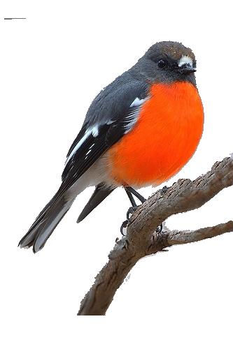 Oiseau rouge et noir for Oiseau orange et noir