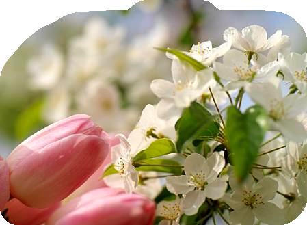 Tubes fleurs de printemps page 3 - Fleurs roses de printemps ...